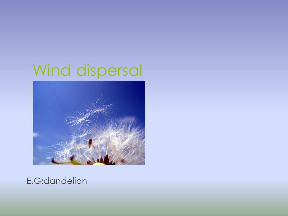 Wind dispersal E.G:dandelion