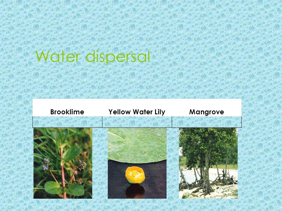 Water dispersal BrooklimeYellow Water LilyMangrove