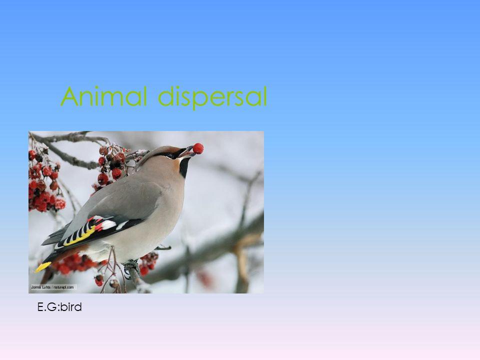 Animal dispersal E.G:bird