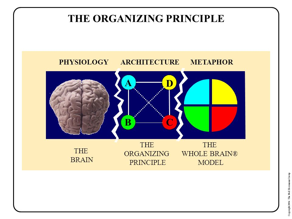 Copyright 2006 The Ned Herrmann Group THE ORGANIZING PRINCIPLE PHYSIOLOGY THE BRAIN METAPHOR THE WHOLE BRAIN® MODEL ARCHITECTURE THE ORGANIZING PRINCI