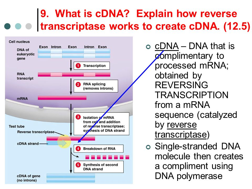 9. What is cDNA? Explain how reverse transcriptase works to create cDNA. (12.5) cDNA – DNA that is complimentary to processed mRNA; obtained by REVERS