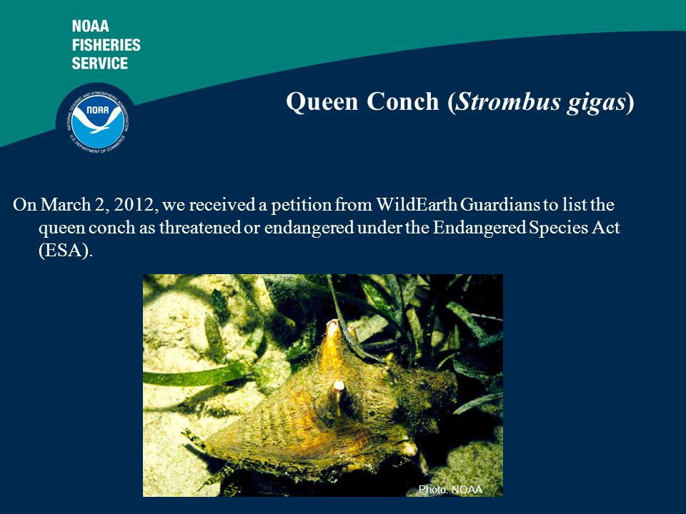 2 Queen Conch (Strombus gigas) On March 2, 2012, we received a petition from WildEarth Guardians to list the queen conch as threatened or endangered u