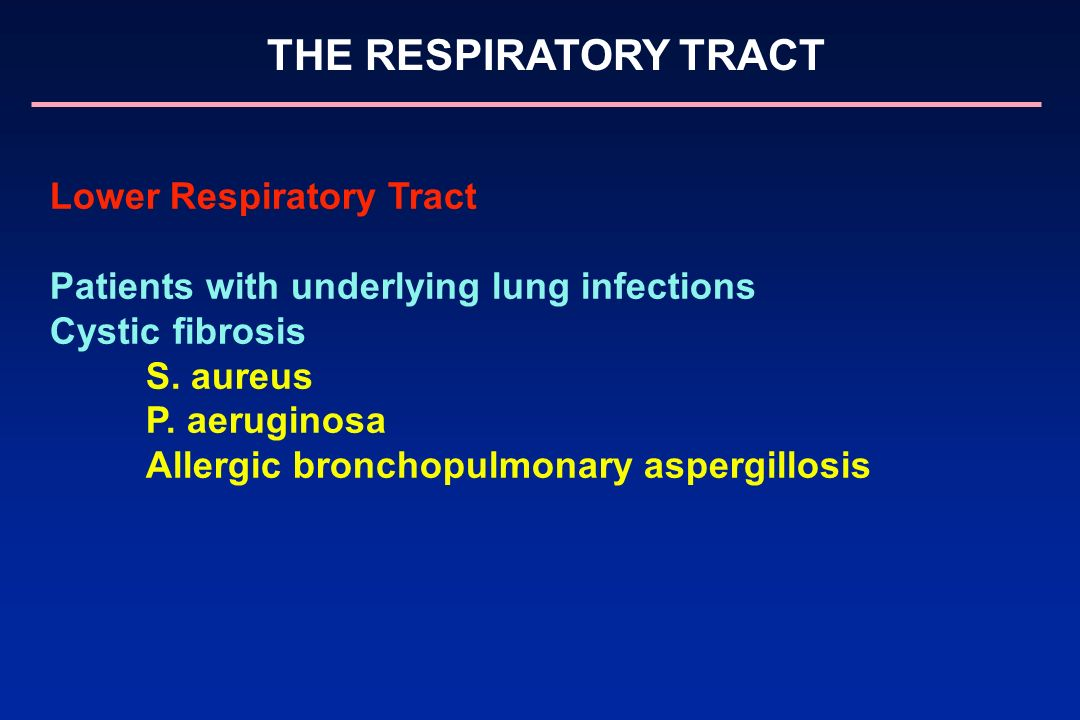 THE RESPIRATORY TRACT Lower Respiratory Tract Patients with underlying lung infections Cystic fibrosis S. aureus P. aeruginosa Allergic bronchopulmona
