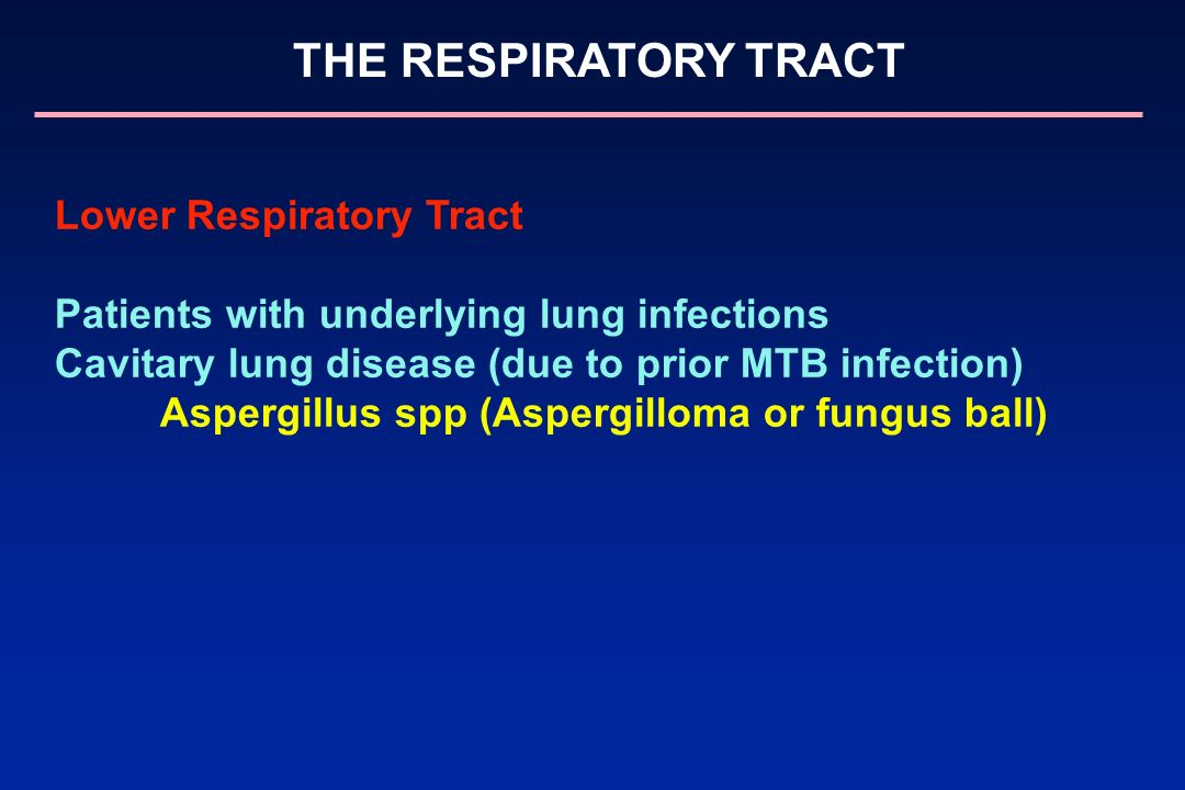 THE RESPIRATORY TRACT Lower Respiratory Tract Patients with underlying lung infections Cavitary lung disease (due to prior MTB infection) Aspergillus