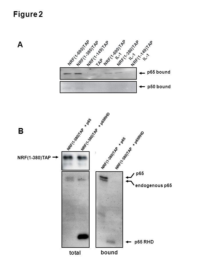 Figure 2 p65 RHD p65 endogenous p65 B NRF(1-380)TAP + p65 NRF(1-380)TAP + p65RHD NRF(1-380)TAP NRF(1-380)TAP + p65 NRF(1-380)TAP + p65RHD total bound p65 bound p50 bound A