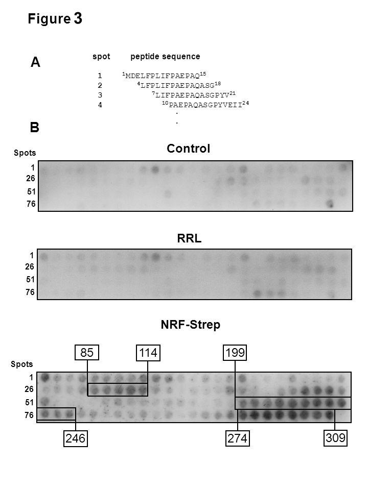 Control NRF-Strep 1 26 51 76 1 26 51 76 Spots B spot peptide sequence 1 1 MDELFPLIFPAEPAQ 15 2 4 LFPLIFPAEPAQASG 18 3 7 LIFPAEPAQASGPYV 21 4 10 PAEPAQASGPYVEII 24.