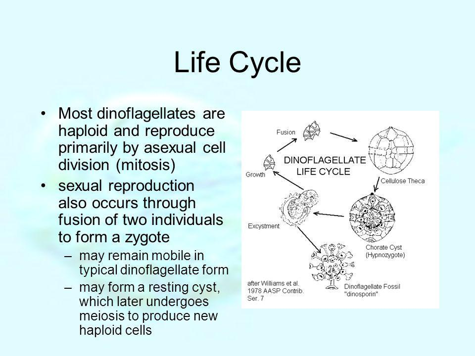 Life Cycle Most dinoflagellates are haploid and reproduce primarily by asexual cell division (mitosis) sexual reproduction also occurs through fusion