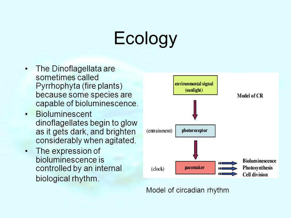 Ecology The Dinoflagellata are sometimes called Pyrrhophyta (fire plants) because some species are capable of bioluminescence. Bioluminescent dinoflag