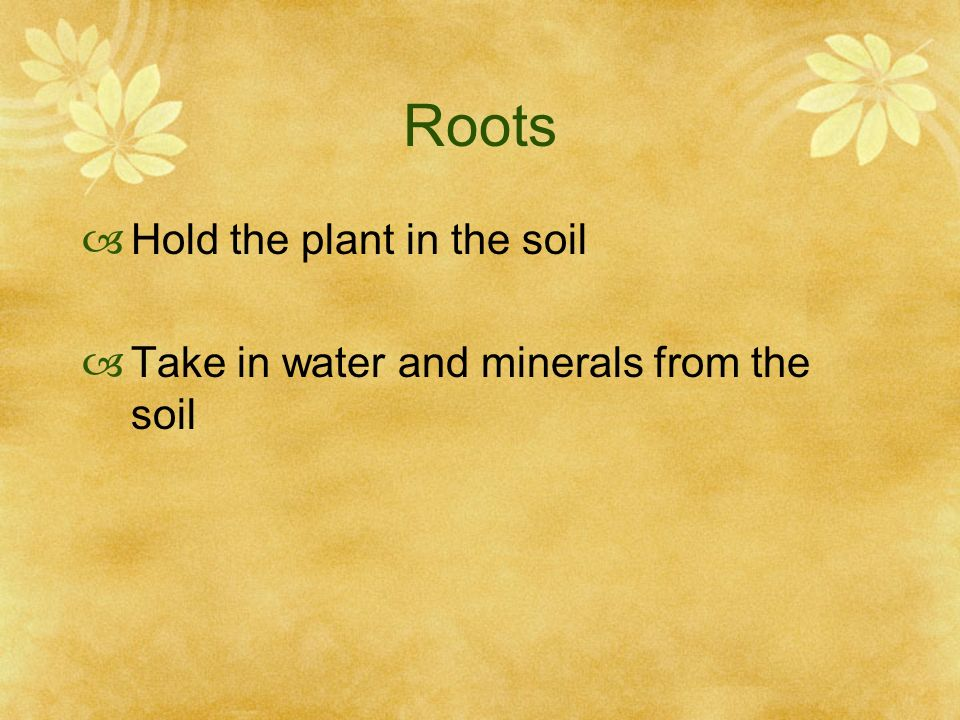 Roots Hold the plant in the soil Take in water and minerals from the soil