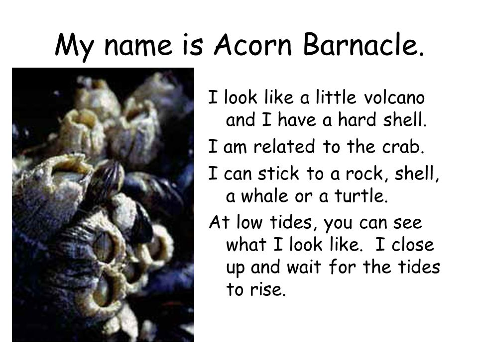 My name is Acorn Barnacle. I look like a little volcano and I have a hard shell. I am related to the crab. I can stick to a rock, shell, a whale or a