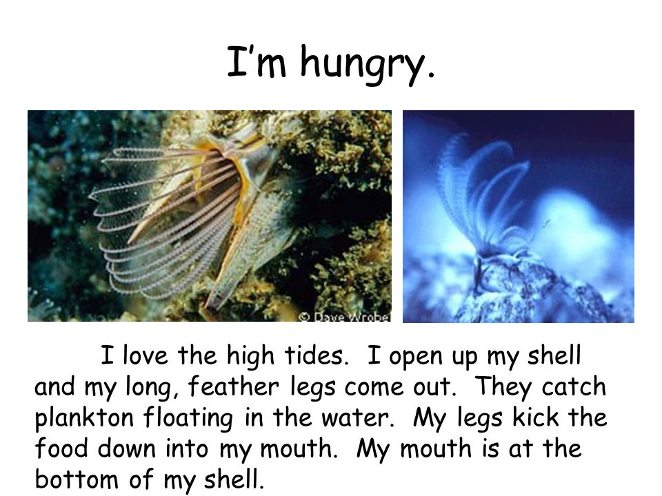 Im hungry. I love the high tides. I open up my shell and my long, feather legs come out. They catch plankton floating in the water. My legs kick the f