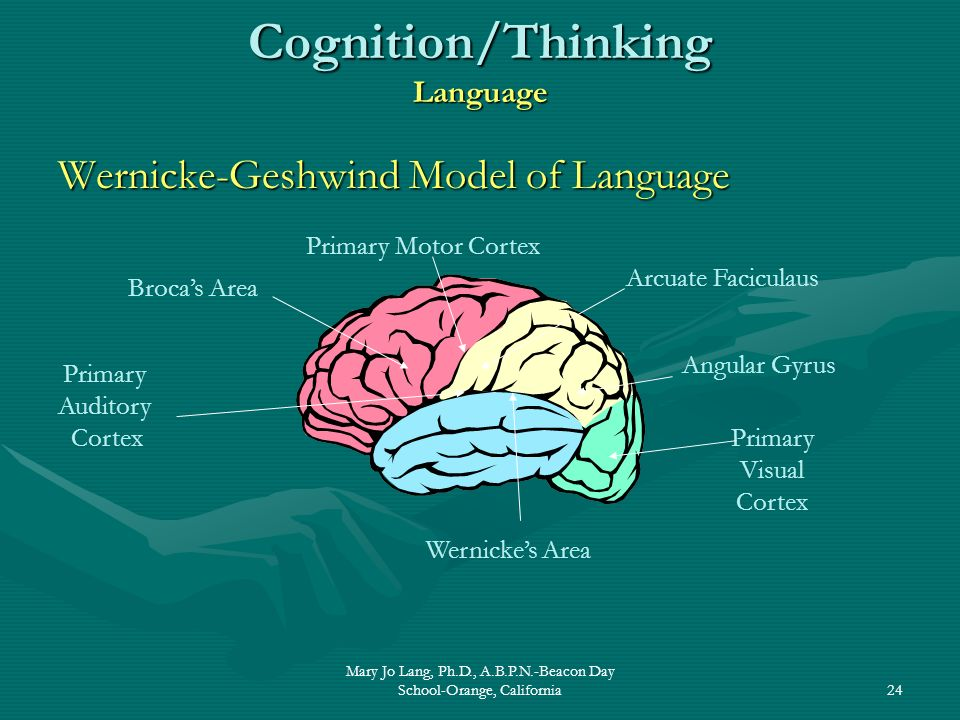 Mary Jo Lang, Ph.D., A.B.P.N.-Beacon Day School-Orange, California24 Cognition/Thinking Language Wernicke-Geshwind Model of Language Brocas Area Prima