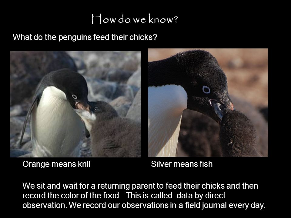 How do we know. What do the penguins feed their chicks.