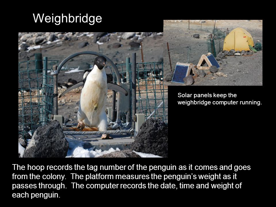 The hoop records the tag number of the penguin as it comes and goes from the colony. The platform measures the penguins weight as it passes through. T