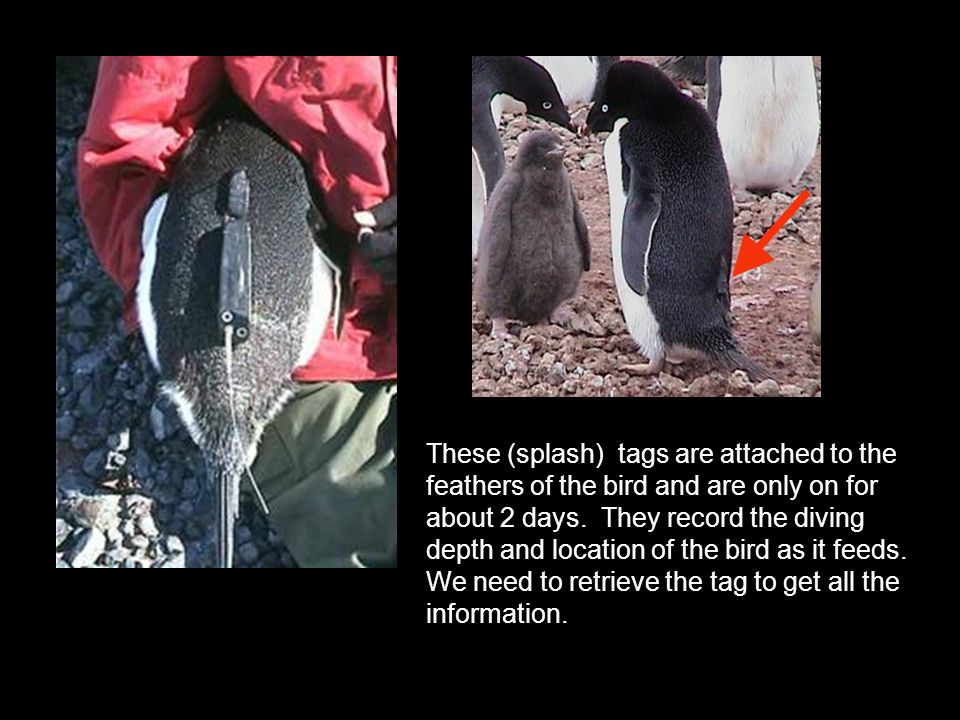 These (splash) tags are attached to the feathers of the bird and are only on for about 2 days. They record the diving depth and location of the bird a