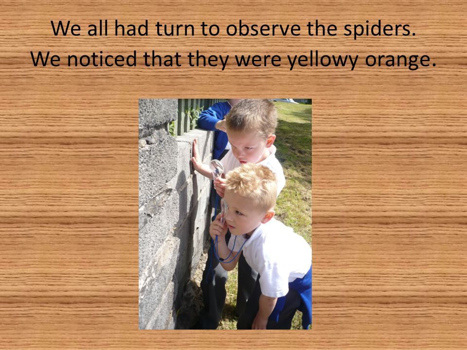 We all had turn to observe the spiders. We noticed that they were yellowy orange.