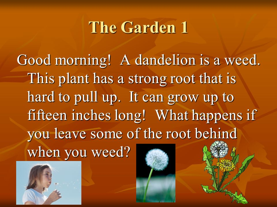 The Garden 1 Good morning! A dandelion is a weed. This plant has a strong root that is hard to pull up. It can grow up to fifteen inches long! What ha
