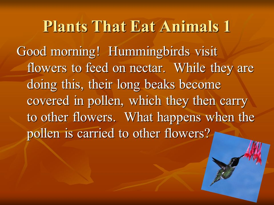 Plants That Eat Animals 1 Good morning! Hummingbirds visit flowers to feed on nectar. While they are doing this, their long beaks become covered in po