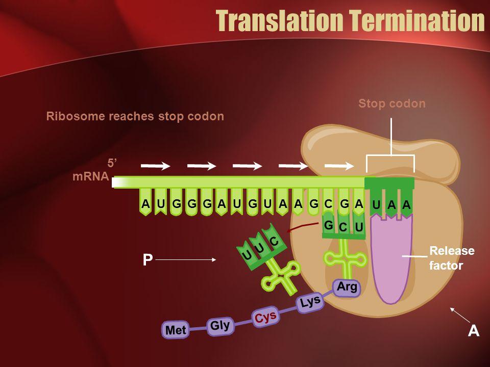 Translation Termination mRNA 5 C U U Met Gly Cys Lys Stop codon Ribosome reaches stop codon C U G Arg UUUCGGGGGGAAAAA UAA Release factor P A