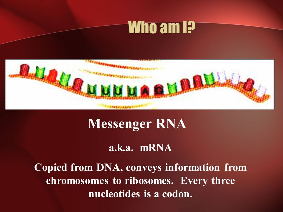 Who am I? Messenger RNA a.k.a. mRNA Copied from DNA, conveys information from chromosomes to ribosomes. Every three nucleotides is a codon.
