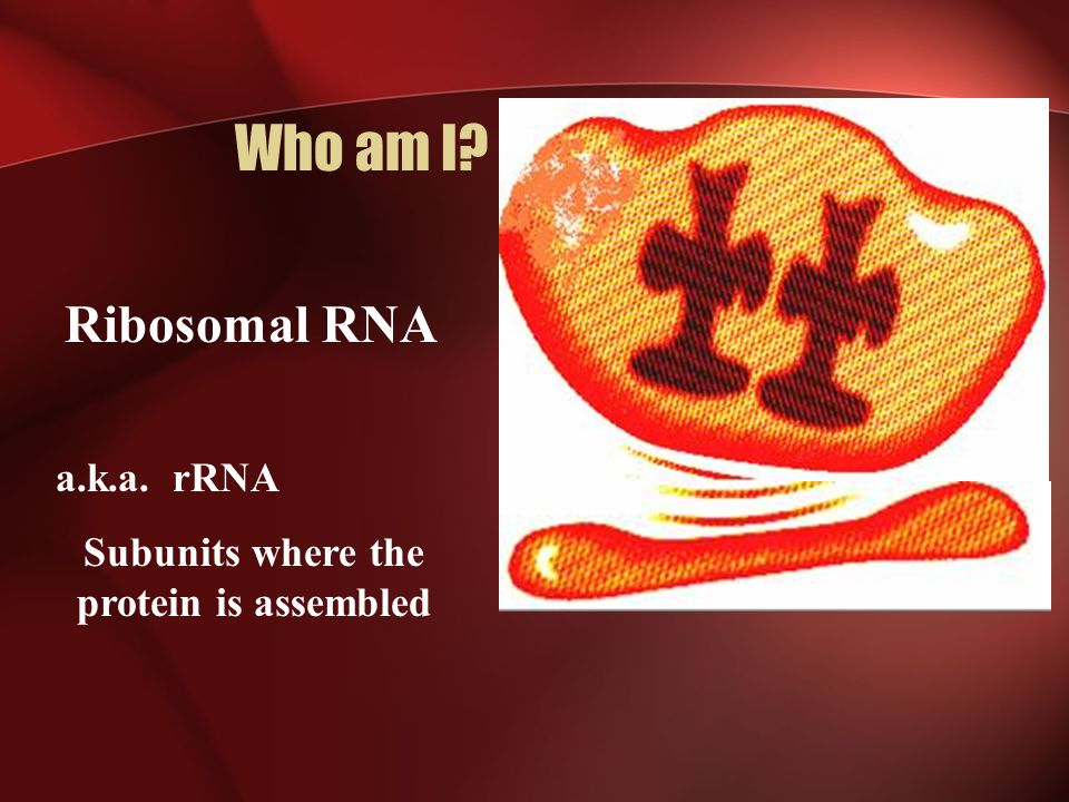 Who am I? Ribosomal RNA a.k.a. rRNA Subunits where the protein is assembled