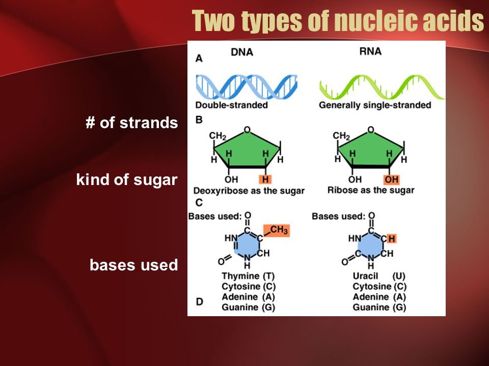 The Importance of Protein Synthesis Specific Roles: Enzyme action Transport Motion Protection Support Communication Regulation Examples : Protein antibodies for immune system Hair, nails, skin Hemoglobin in blood Insulin to regulate blood sugar levels