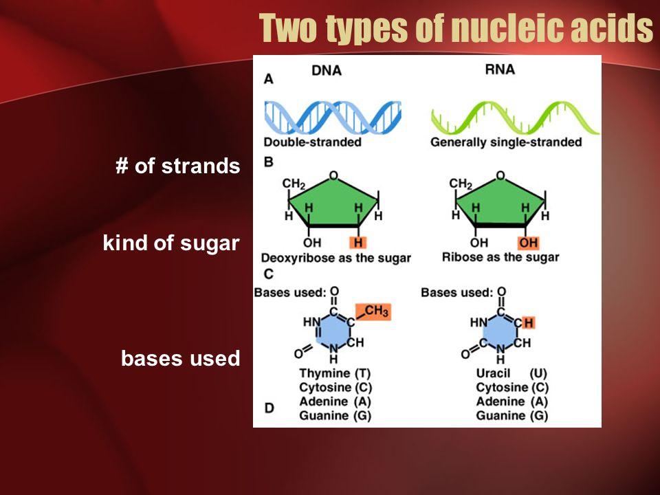 Prokaryotes vs Eukaryotes Protein Synthesis Prokaryotes In prokaryotes, mRNA transcripts of a coding sequence are copied from the DNA as a single contiguous sequence.