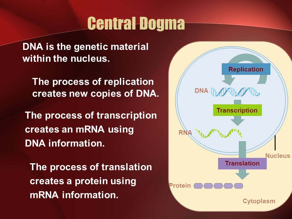 Protein Synthesis TranscriptionTranslation