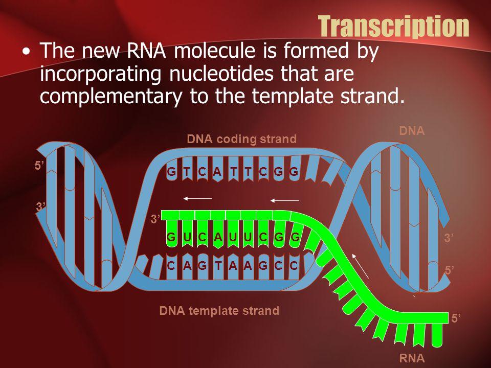 Who am I? Transfer RNA a.k.a. tRNA Transports amino acids to ribosomes.