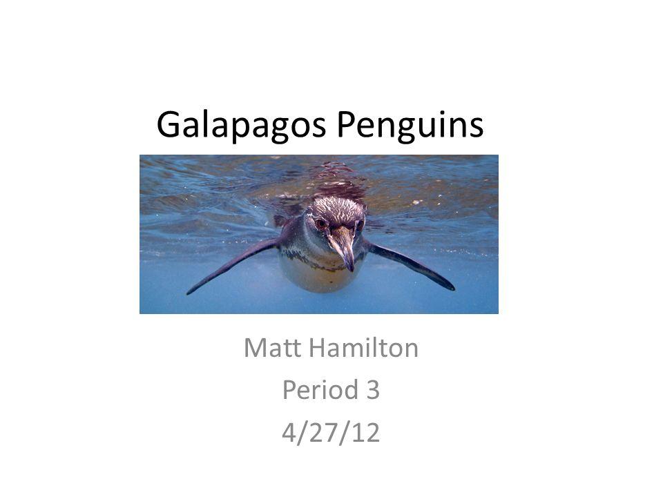 Galapagos Penguins Matt Hamilton Period 3 4/27/12