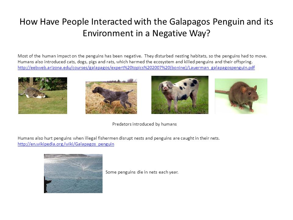 How Have People Interacted with the Galapagos Penguin and its Environment in a Negative Way? Most of the human impact on the penguins has been negativ