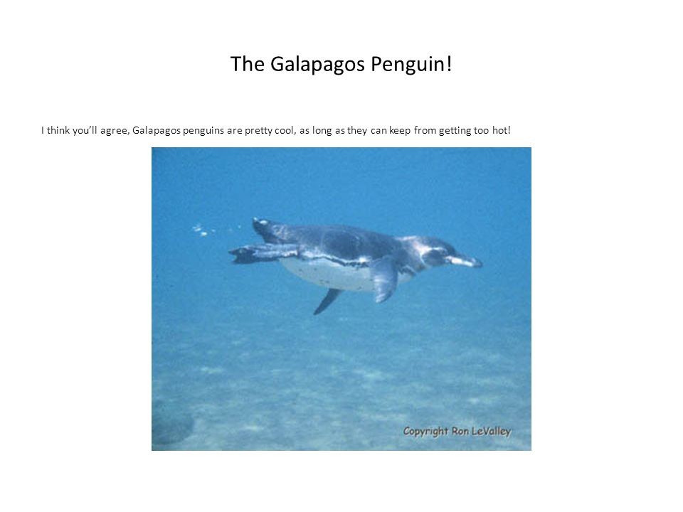 The Galapagos Penguin! I think youll agree, Galapagos penguins are pretty cool, as long as they can keep from getting too hot!