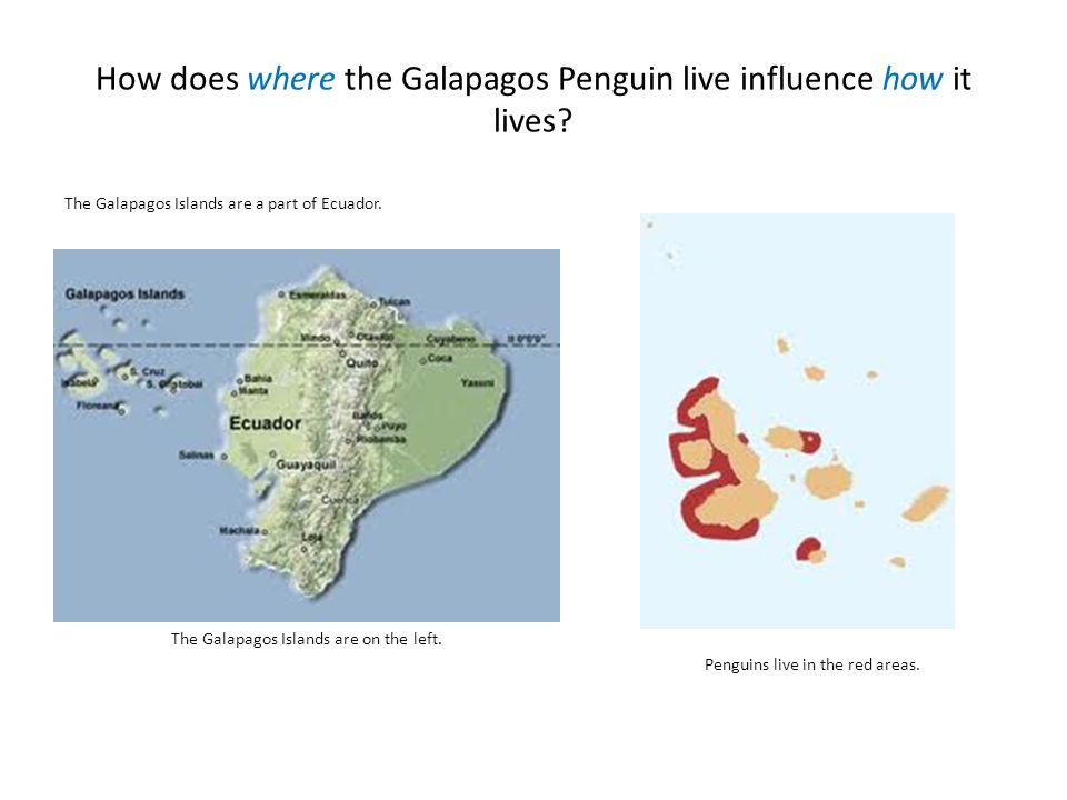 Survival Galapagos penguins are the only penguins that can live north of the Equator.