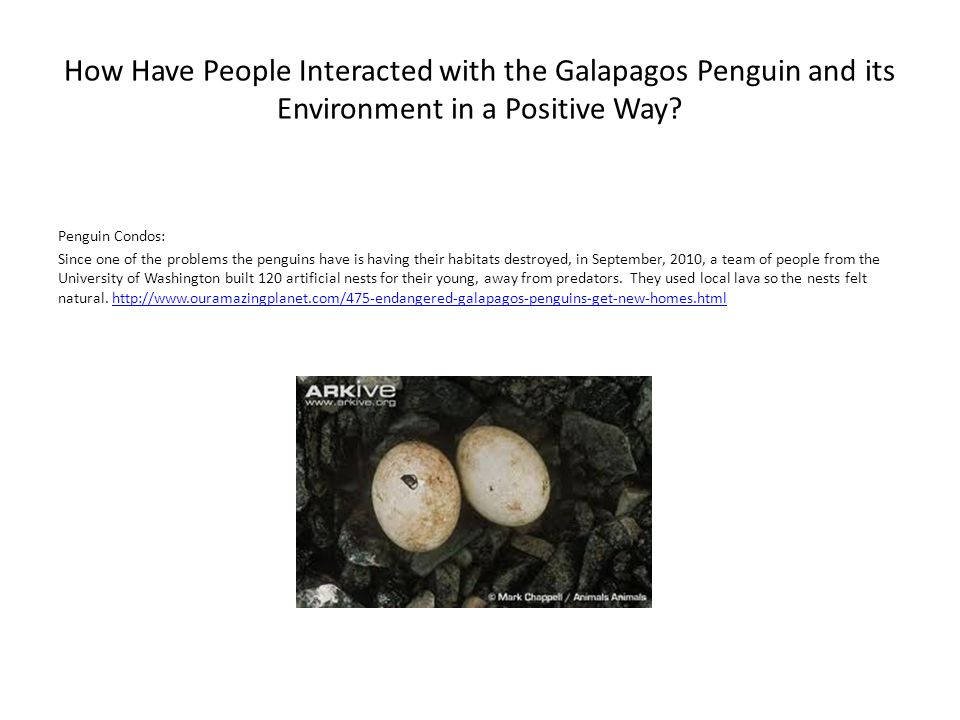How Have People Interacted with the Galapagos Penguin and its Environment in a Positive Way? Penguin Condos: Since one of the problems the penguins ha