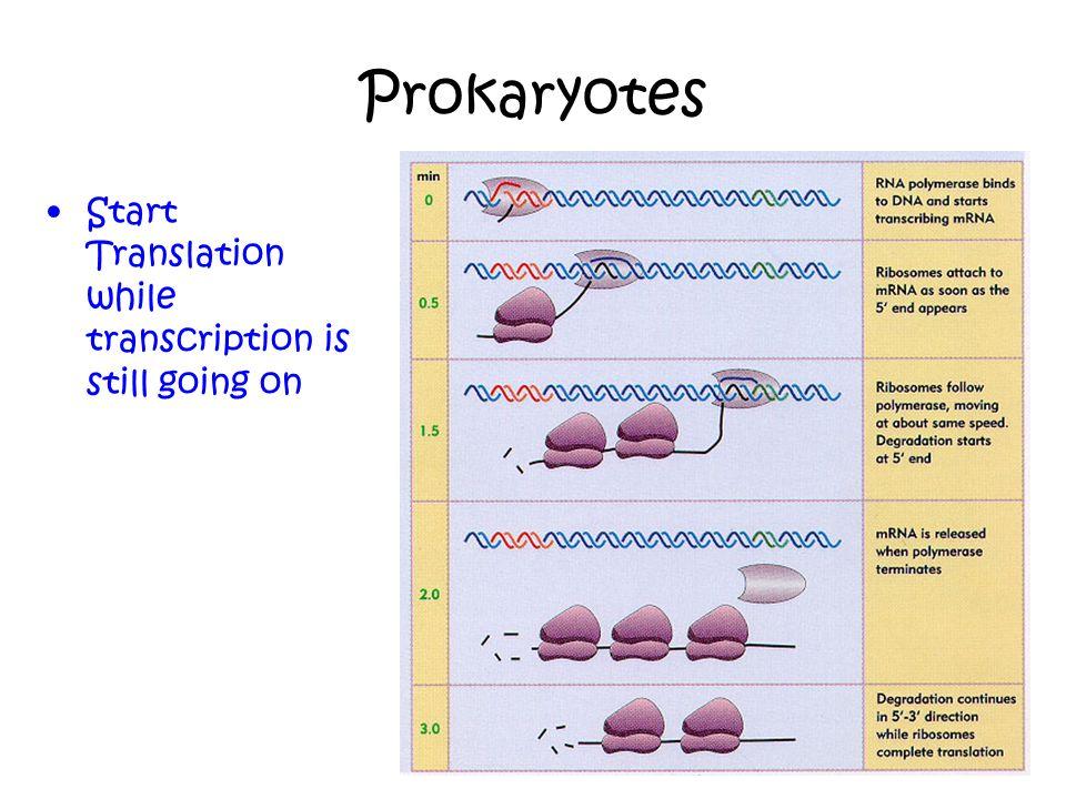 Prokaryotes Start Translation while transcription is still going on 24-14