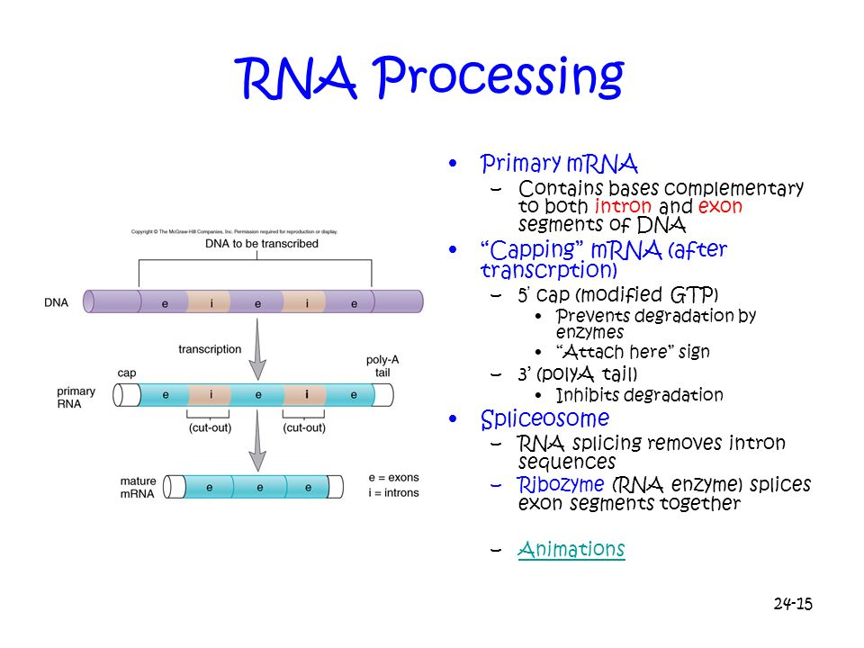 24-15 RNA Processing Primary mRNA –Contains bases complementary to both intron and exon segments of DNA Capping mRNA (after transcrption) –5 cap (modi