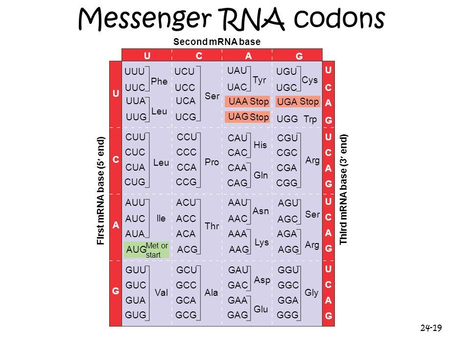 24-19 Messenger RNA codons Second mRNA base UCA G U C A G UUU UUC UUA UUG CUU CUC CUA CUG AUU AUC AUA AUG GUU GUC GUA GUG Met or start Phe Leu lle Val