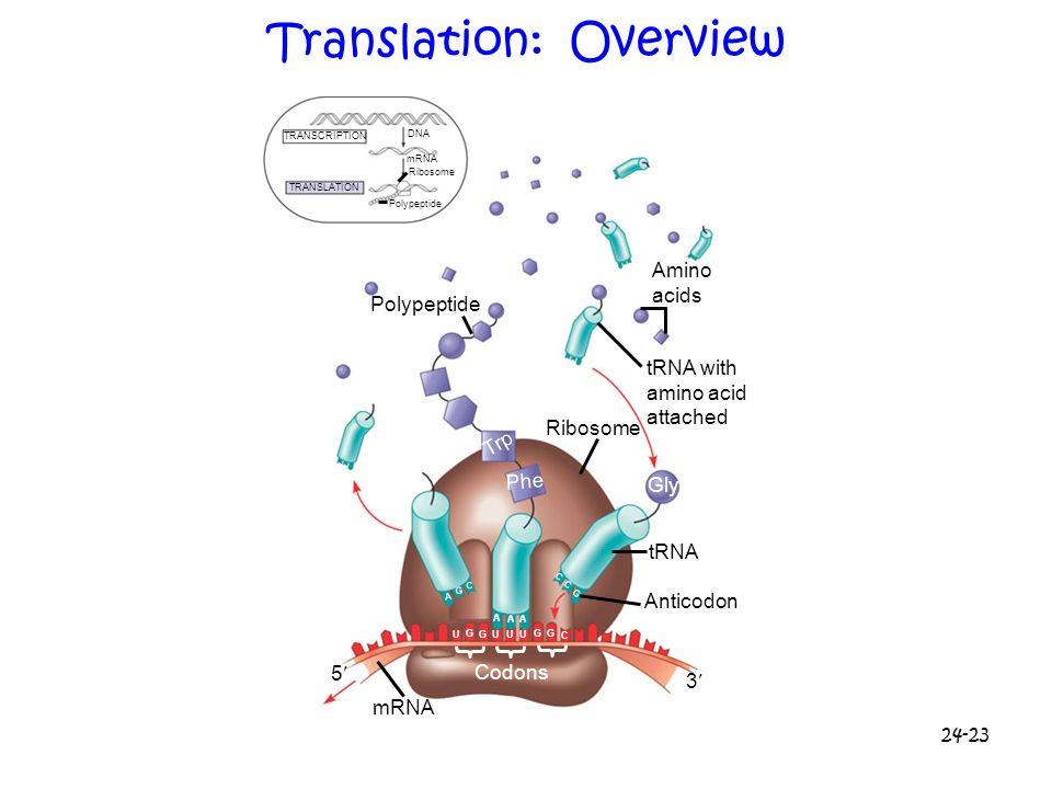 24-23 Translation: Overview TRANSCRIPTION TRANSLATION DNA mRNA Ribosome Polypeptide Amino acids tRNA with amino acid attached Ribosome tRNA Anticodon