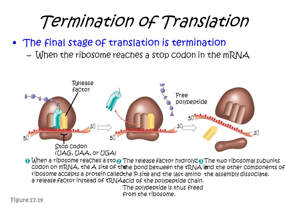 Termination of Translation The final stage of translation is termination –When the ribosome reaches a stop codon in the mRNA Figure 17.19 Release fact