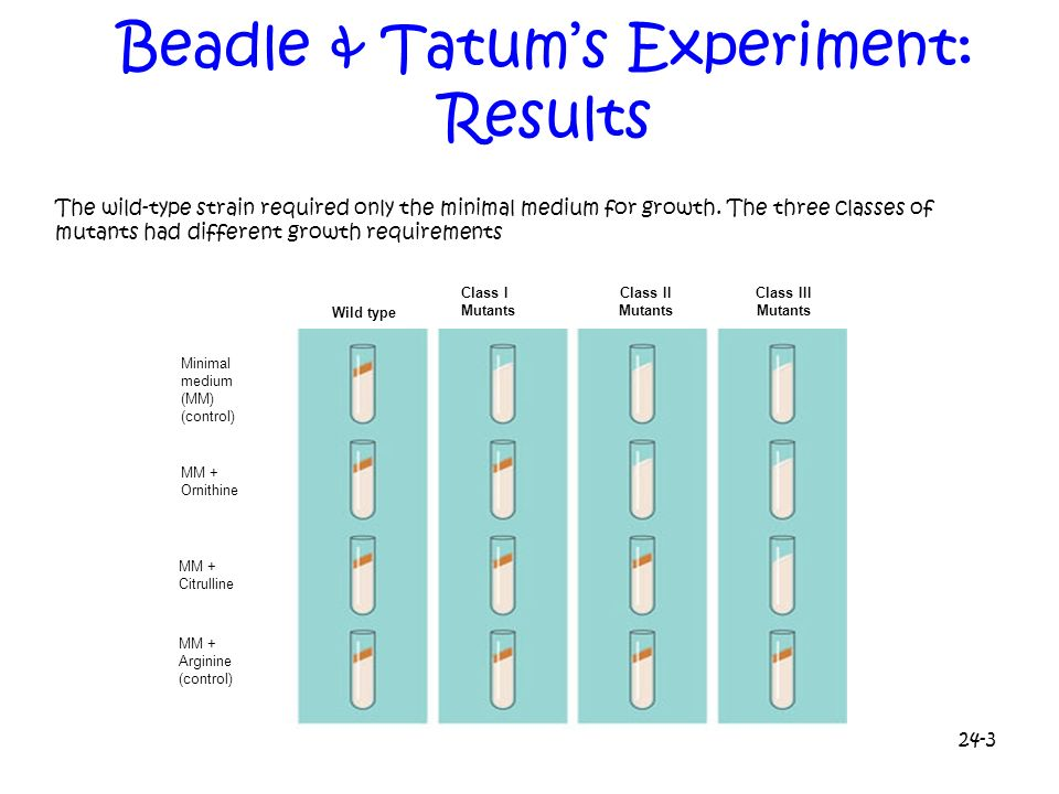 24-3 Beadle & Tatums Experiment: Results The wild-type strain required only the minimal medium for growth. The three classes of mutants had different