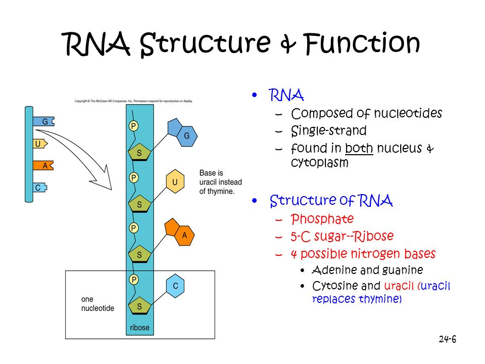 24-6 RNA Structure & Function RNA –Composed of nucleotides –Single-strand –found in both nucleus & cytoplasm Structure of RNA –Phosphate –5-C sugar--R