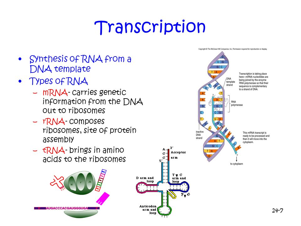 24-7 Transcription Synthesis of RNA from a DNA template Types of RNA –mRNA- carries genetic information from the DNA out to ribosomes –rRNA- composes