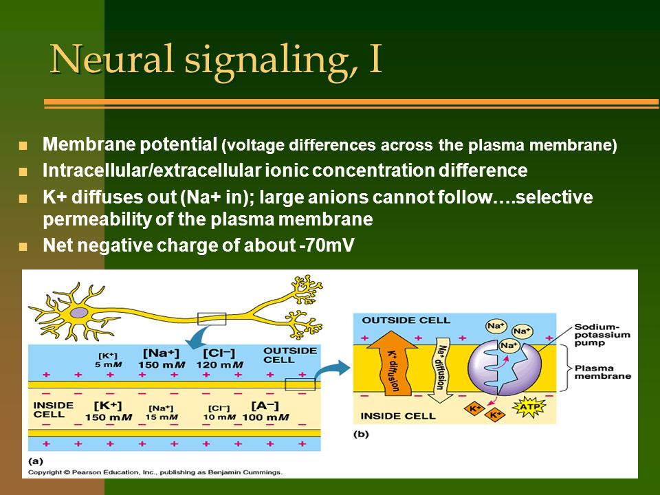 Neural signaling, I n Membrane potential (voltage differences across the plasma membrane) n Intracellular/extracellular ionic concentration difference