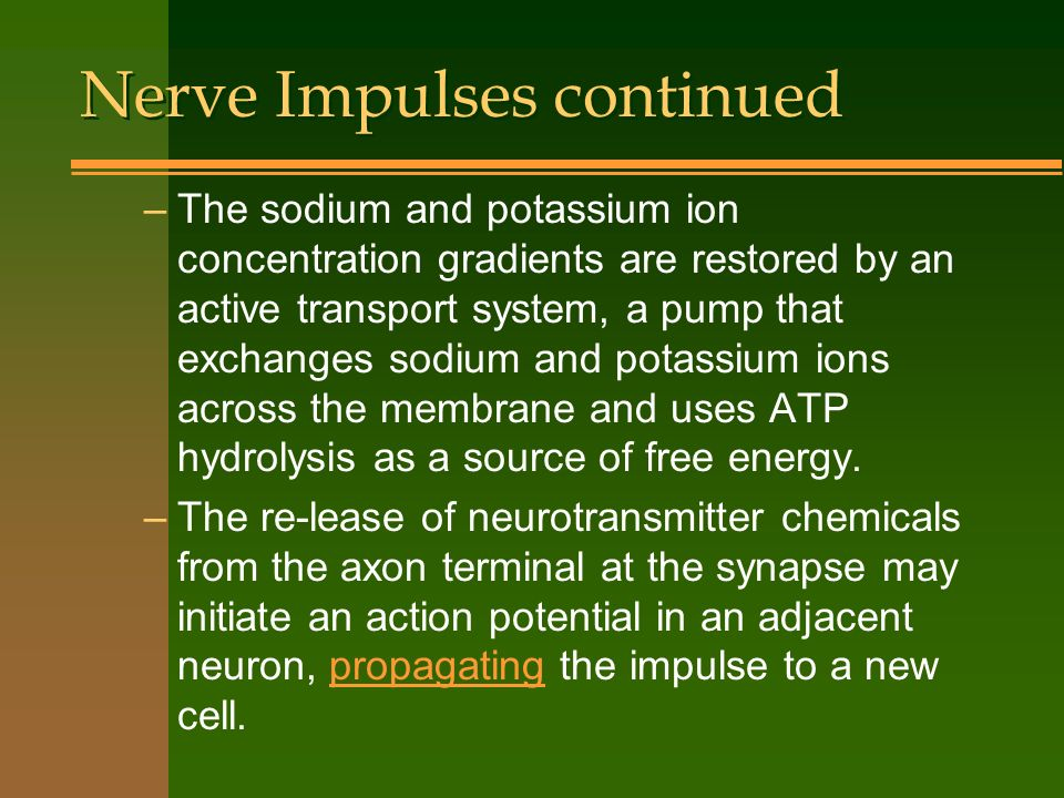 Nerve Impulses continued –The sodium and potassium ion concentration gradients are restored by an active transport system, a pump that exchanges sodiu