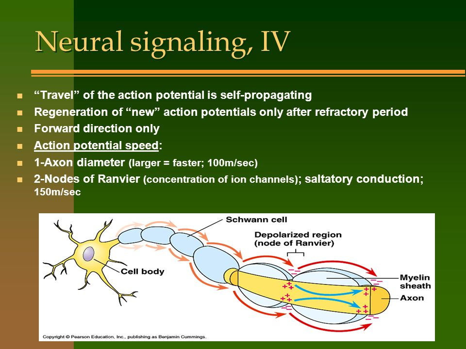 Neural signaling, IV n Travel of the action potential is self-propagating n Regeneration of new action potentials only after refractory period n Forwa