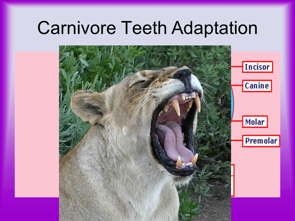 Carnivore Only eats meat –E.g. Spider, lion Its survival is dependent on finding and catching prey Top predator – Nothing eats him!