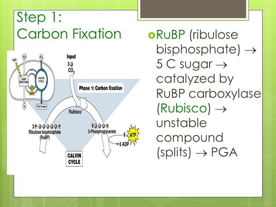 Step 1: Carbon Fixation RuBP (ribulose bisphosphate) 5 C sugar catalyzed by RuBP carboxylase (Rubisco) unstable compound (splits) PGA