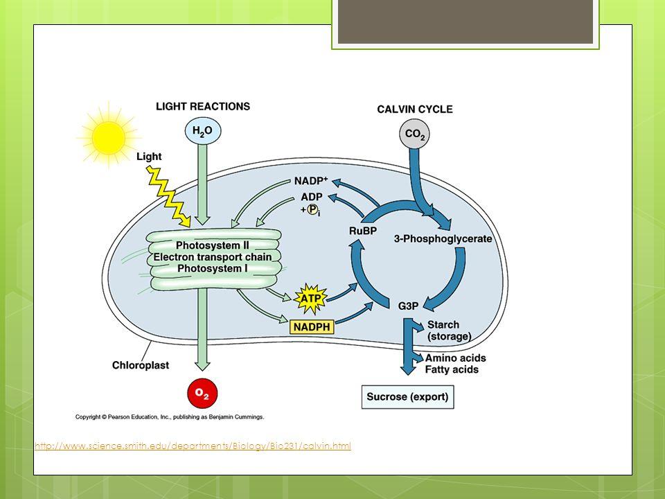 http://www.science.smith.edu/departments/Biology/Bio231/calvin.html