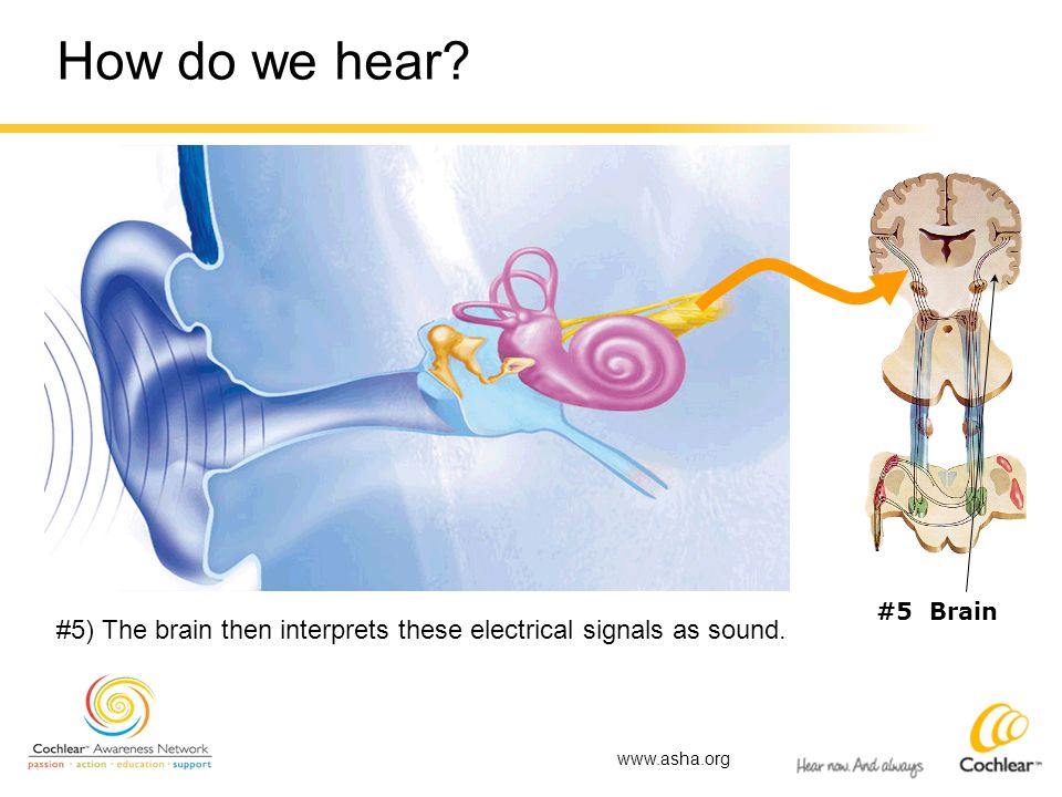How do we hear? #5 Brain #5) The brain then interprets these electrical signals as sound. www.asha.org
