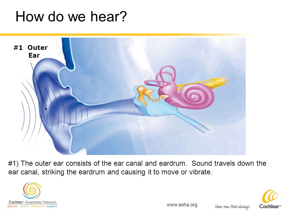 How do we hear? #1 Outer Ear #1) The outer ear consists of the ear canal and eardrum. Sound travels down the ear canal, striking the eardrum and causi